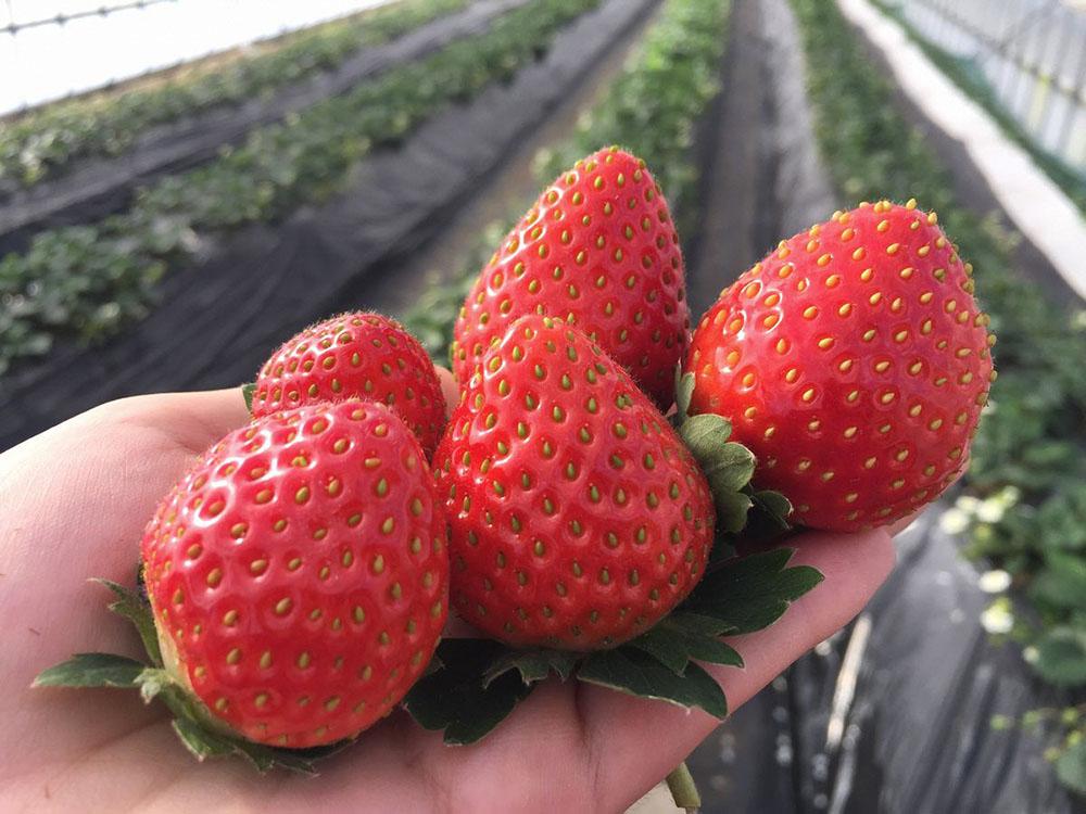 富山県氷見市でいちごの収穫体験やブリ尽くしのコースを楽しもう!
